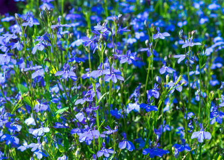 lobelia: Blue flowers petunias in focus on the flowerbed. Sunny summer day. Stock Photo