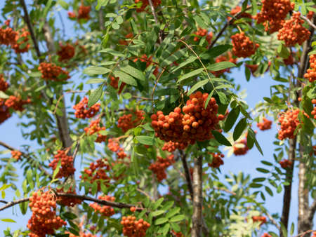 aucuparia: Part of rowan tree with bushes of berries. Warm red and orange shades. Sorbus aucuparia, more commonly called rowan and mountain-ash. Sunny summer day.