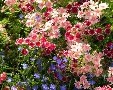 lobelia: Phlox drummonda on the flowerbed. Focus in the center of shot. Mix colored, warm shades, different forms, with blue lobelia flowers. Sunny summer day.