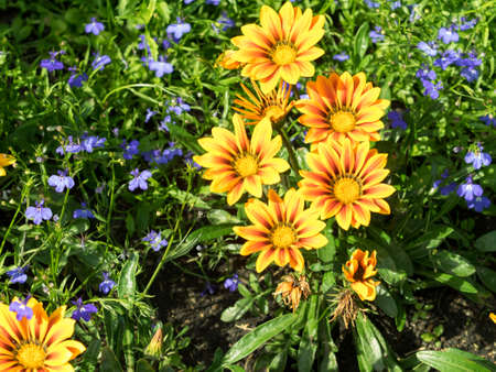 lobelia: Some arctotis flowers with lobelia. Contrast yellow and orange colored, shades. Sunny summer day lighting. Stock Photo