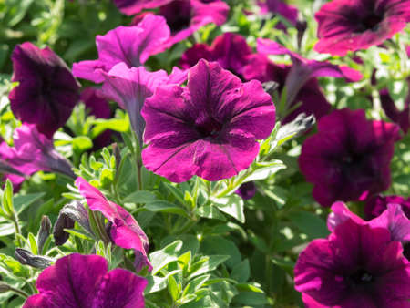 petunias: Some flowers petunias in focus on the flowerbed. Violet colored, grandiflora form flowers. Sunny summer day.