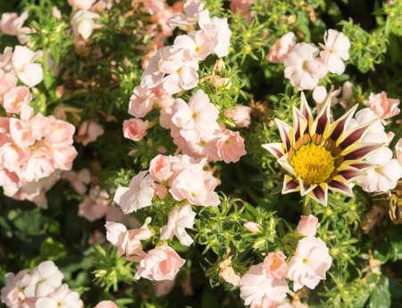 lobelia: Phlox drummonda rose colored on the flowerbed with arctotis. Rose colored, warm shades, with big yellow-vine vine flower arctotis. Sunny summer day.