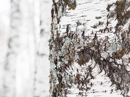 Birch bark close-up. Daylight, winter sun, forest. Background.