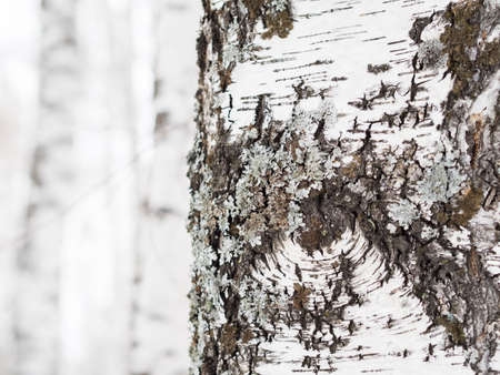 bark: Birch bark close-up. Daylight, winter sun, forest. Background.