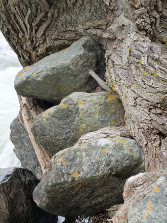 grew: Three stones grew into a tree trunk, on a river bank, closeup, texture. Poplar in natural environment, stones inside, wet weather, cloudy. Summer time.