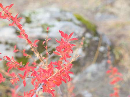 chaparral: Chaparral, autumn color. Morning light, texture.
