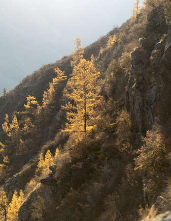 arbol de pino: Una fuerte alerce en las laderas de la monta�a. Oto�o laderas de las monta�as a contraluz. Foto de archivo