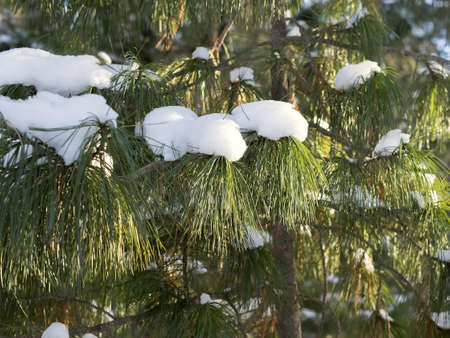 twiggy: Branch of cedar with snow caps. Daylight, sunny day, winter time, forest place, backlight.