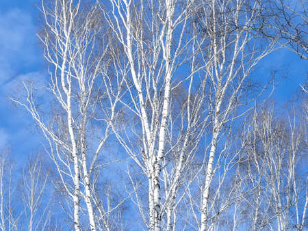 twiggy: Network birch branches against the sky. Some tree trunks. Daylight, sunny day, winter time, view from below.