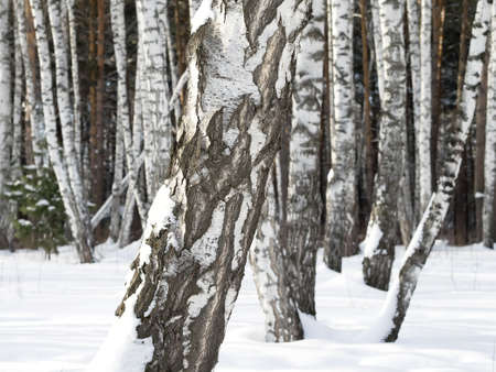 snowdrifts: Birch trunks in forest. Wintertime and daylight. Mixed forest with pines on the background and snowdrifts.