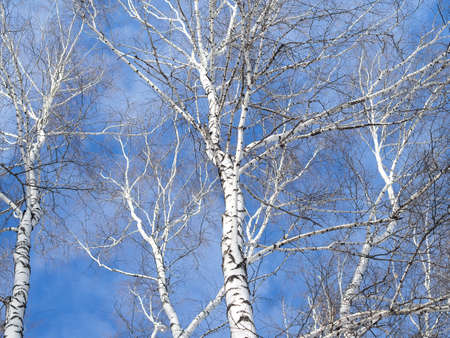 twiggy: Tops of birch trees against the sky. Network birch branches against the sky. Some tree trunks. Daylight, sunny day, winter time, view from below. Stock Photo