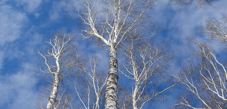 twiggy: Tops of birch trees against the sky. Panrama of three shots. Network birch branches against the sky. Some tree trunks. Daylight, sunny day, winter time, view from below.