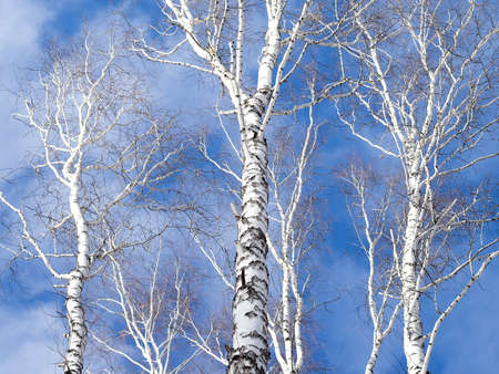 trio: Trio of birch trunk against the sky. Network birch branches against the sky. Some tree trunks. Daylight, sunny day, winter time, view from below.
