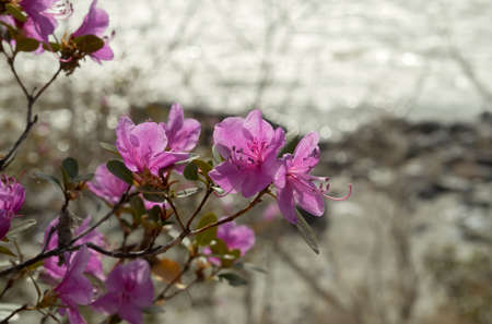 venous: Rhododendron ledebourii or Ledum Siberia flowers on the river background. Day light, sunny weather.