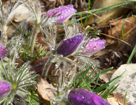 pasqueflower: Pasque-flower or Pulsatilla patens in nature after rain. One sharp flower among athers, day light.