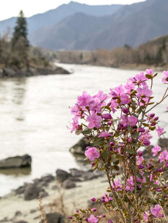 siberia: Rhododendron ledebourii or Ledum Siberia flowers on the river and mountain background. Day light, sunny weather. Vertical shot.
