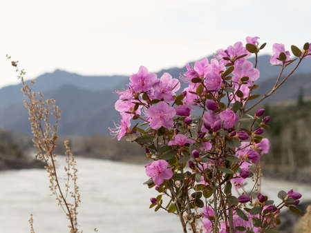 venous: Rhododendron ledebourii or Ledum Siberia flowers on the river and mountain background. Day light, sunny weather.