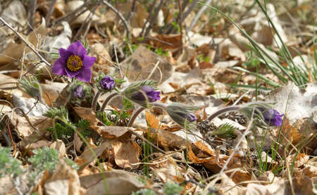Some Pasque-flowers or Pulsatilla patens in nature, young flowers in line. Day light, sunny weather, on the last years grass.