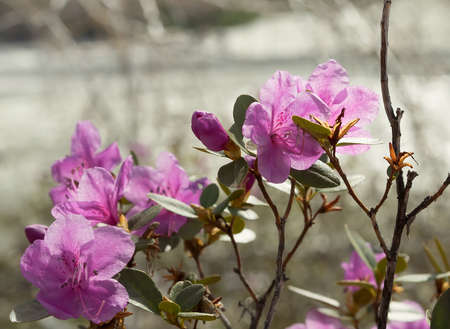 Rhododendron ledebourii or Ledum Siberia flowers on the river background. Day light, sunny weather.