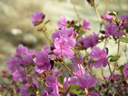 Rhododendron ledebourii or Ledum Siberia flowers. Pink bush. Day light, sunny weather. Reklamní fotografie