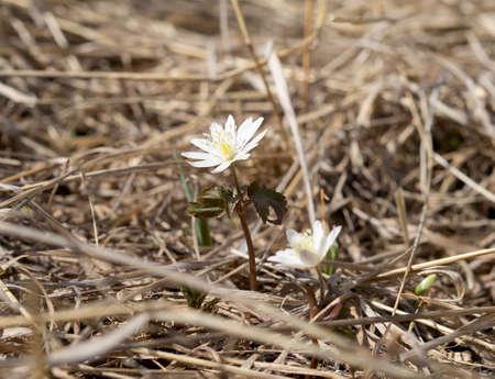Wild Anemone raddeana in real habitat. Day light, sunny weather.