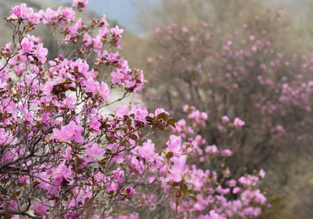 ericaceae: Rhododendron ledebourii or Ledum Siberia flowers. Pink bush, cloudy weather. Stock Photo