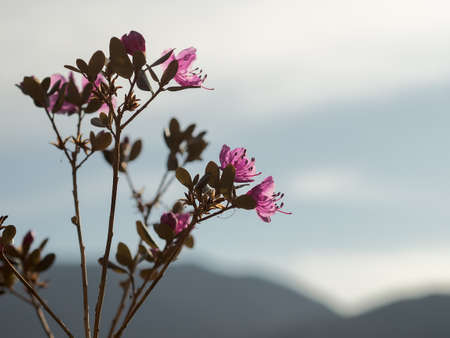 Rhododendron ledebourii or Ledum Siberia flowers against the sun. Evening light. Stock Photo