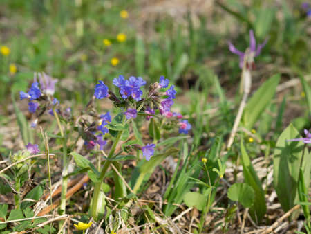 Blossoming Lungwort in Spring. Real habitat. Daylight, tender shapes. Stock Photo