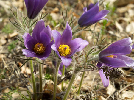Pasque-flower or Pulsatilla patens in nature clouseup. Day light, some large flowers. Stock Photo