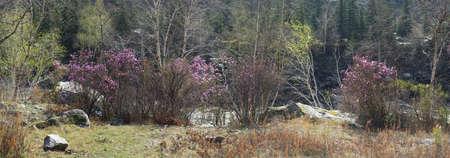 Ledum bushes on the river bank. Panorama four shots. Daylight, sunny weathwer. Reklamní fotografie