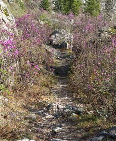 Footpath between the Ledum bushes. Daylight, panorama two shots.