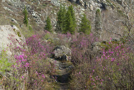 Footpath between the Ledum bushes. Daylight, panorama three shots. Wide angle.
