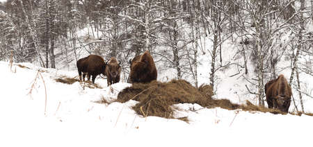 Male adult bison, four individuals. Altai Breeding bison place. Panorama of three snapshot. The feeding place in bison nursery, Russia, Siberia, Altai mountains. Cloudy day, late autumn, frosty.