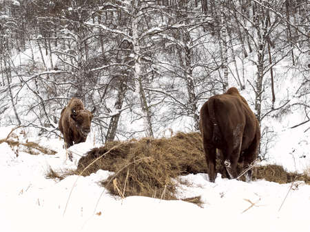 Male adult bison, two individuals. Altai Breeding bison place.  The feeding place in bison nursery, Russia, Siberia, Altai mountains. Cloudy day, late autumn, frosty.