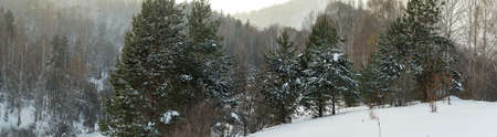 Pines on a background of mountain slopes. Backlight. Altai mountains. Roerich place. Altai mountains. Winter, afternoon. Time after snowstorm. Reklamní fotografie