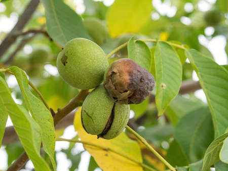 Three fruits of Juglans regia on the branch. Two of nuts ripe, one are green colour. Autumn, daylight.