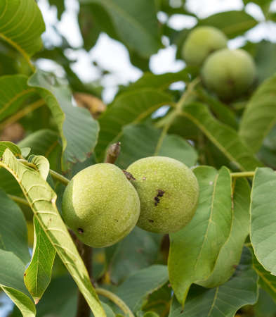 Two fruits of Juglans regia on the branch. Walnut tree, some nut on the background. Autumn, daylight, sun rays. Reklamní fotografie
