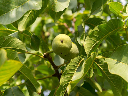 Two fruits of Juglans regia in green leaves. Two of nut are green colour. Autumn, daylight, sun rays. Reklamní fotografie