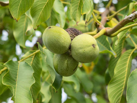 Fruits of Juglans regia on the branch. Four in a bunch. One of nut ripe, three are green colour. Autumn, daylight.
