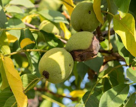 albero nocciolo: Tre frutti di Juglans regia sul ramo. Due di noce mezzo maturo, uno è di colore verde. Autunno, la luce del giorno, i raggi del sole.