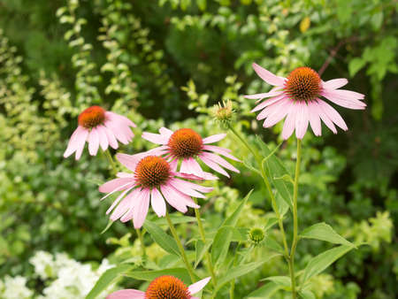 Some flowers of Echinacea purpurea or Hedgehog coneflower against the backdrop of greenery. Summer time, cloudy weather. Reklamní fotografie