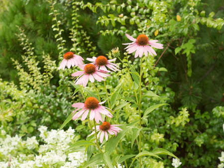 Some flowers of Echinacea purpurea or Hedgehog coneflower against the backdrop of greenery. Summer time, cloudy weather. Stock Photo