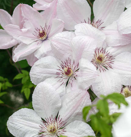White Clematis John Paul II, lot of flowers. Winding vine on the fence in the garden. Sunny daylight.