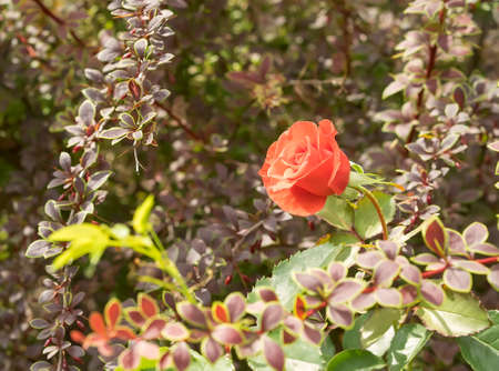 Red rose in the bushes of barberry. Berberis thunbergii leaves. One flower, sunny day and sun glare.