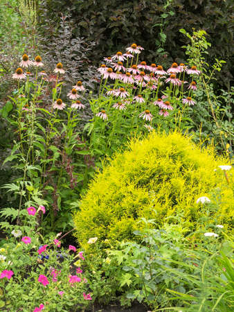 Bush Echinacea purpurea among other plants in the garden. Hedgehog coneflower the same plant. Summer time, cloudy weather. Reklamní fotografie