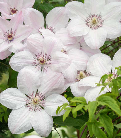 White Clematis John Paul II, lot of flowers. Winding vine on the fence in the garden. Sunny dailight.