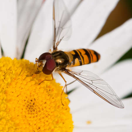A hoverfly dines on the pollen of an ox eye daisy. Stock Photo - 10477143