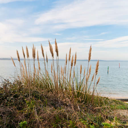 A view of some pampas grass at Lepe, overlooking the Isle of Wight.