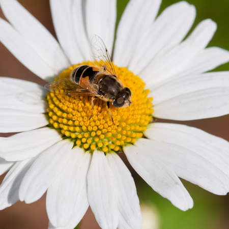 A small bee sits in the centre of an ox eye daisy. Stock Photo - 10477159