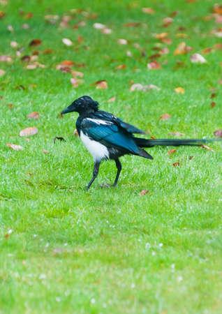 bedraggled: A rather bedraggled looking young magpie stalks around a lawn looking for food.